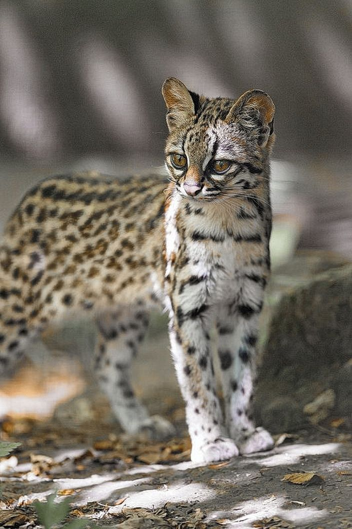 Oncilla (Leopardus tigrinus), also known as the little spotted cat, tigrillo, or tiger cat, is a small spotted cat native to montane and tropical rainforests of Central and South America.