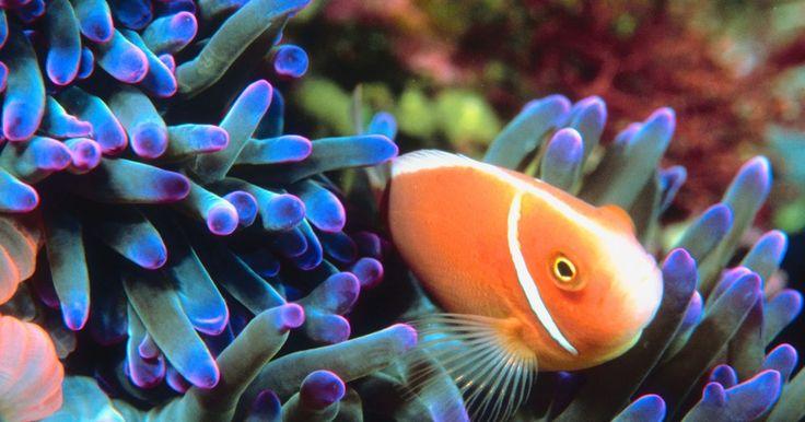 ¿Por qué adaptaciones de conducta pasa un pez payaso?. Los peces payaso son unos pequeños peces que viven en los tentáculos de las anémonas del mar. Los peces payaso pueden cambiar su sexo y esta adaptación permite que estos peces de arrecifes puedan reproducirse sin tener que esperar que una pareja del sexo apropiado llegue a la anémona. La habilidad de cambiar de sexo también significa que un pez no ...
