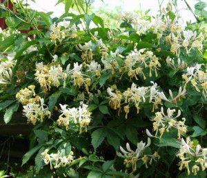 Tuoksuköynnöskuusama Lonicera caprifolium