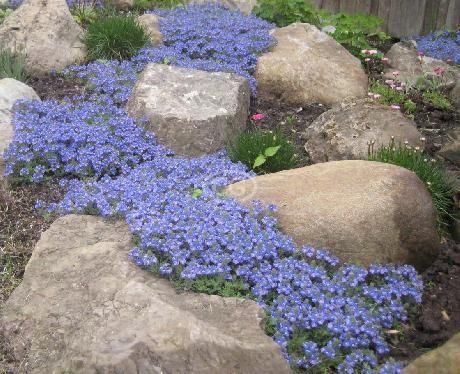 Veronica peduncularis 'Georgia Blue'  (AKA Veronica umbrosa, 'Oxford Blue', Speedwell 'Georgia Blue', 'Cambridge Blue', creeping veronica)