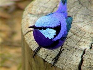 bright blue bird: Bluebirds, Splendid Fairies, Little Birds, Fairies Wren, Blue Birds, Fairywren, Fairy Wren, Animal, Feathers Friends