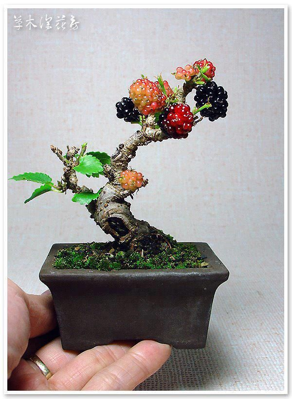 Blackberry Bonsai