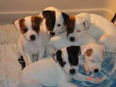 Boston Jack Russell puppies.... I want one!