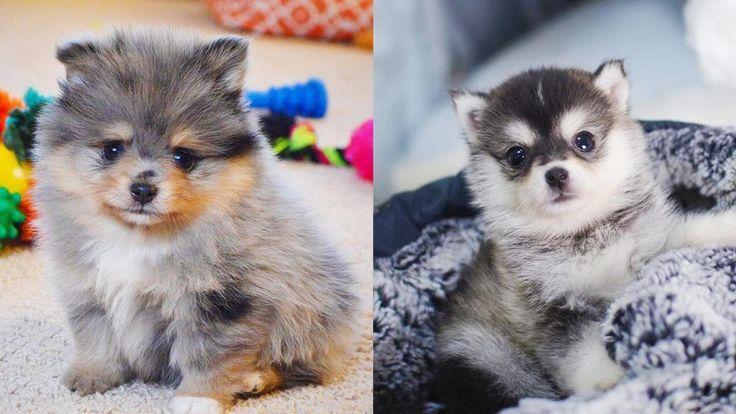 Pomsky 12 Surprising Facts About Pomeranian Husky Mix Puppy