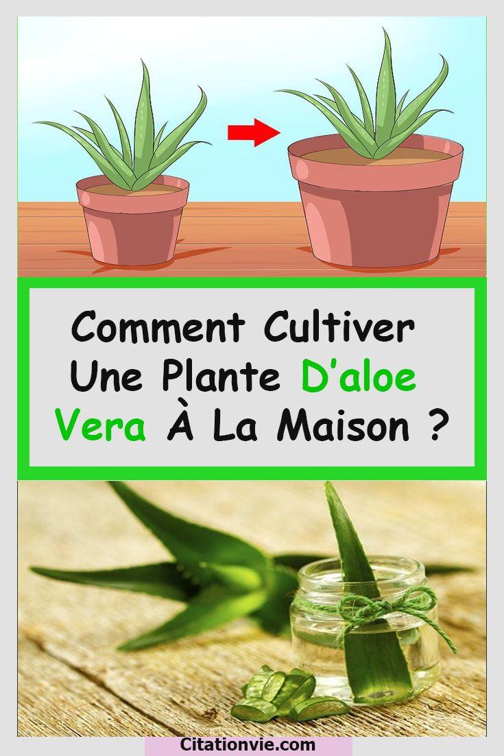 Remark cultiver une plante d'aloe vera à los angeles maison ?