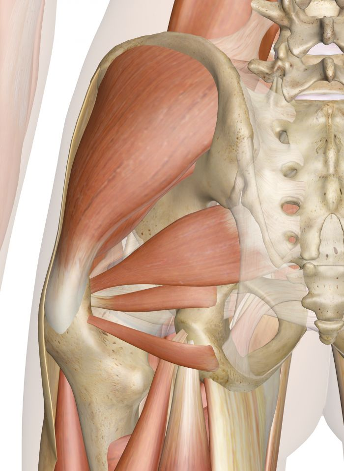 Superficial Muscles of the Hip (Posterior View)