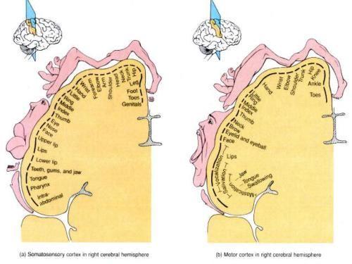 sensory and motor homunculus