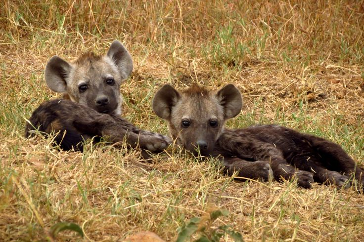 We spotted baby hyenas near their den.