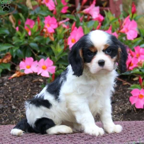Patrick Cavalier King Charles Spaniel Puppy For Sale In Pennsylvania Cavalier King Charles King Charles Spaniel King Charles