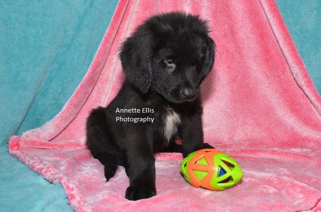 Litter Of 6 Newfoundland Puppies For Sale In Millersburg In Adn
