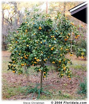 Kumquat can grow in container fruit in fall full sun but can grow in partial landscape - Planting fruit trees in the fall a garden full of vigor ...