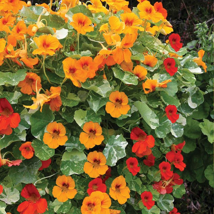 Nasturtium 'Firebird' - Half-hardy Annual Seeds - Thompson & Morgan