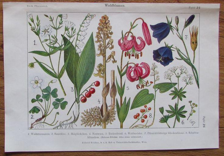 1916 WALDBLUMEN 2 Farbdrucke Antique Prints Lithografie Botanik Blumen