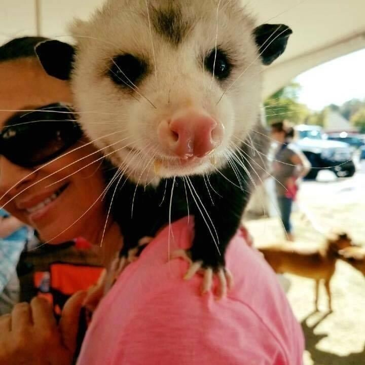 This little opossum (Opie) loved his rescuer so much, he decided to make her his mom. ***I don't understand why these animals are often treated so horribly. They don't attack people or their pets. Also didn't know their lifespan is only about 2 yrs.  Anyhow, CUTE PICS ESPECIALLY THE ONE OF OPIE WITH SANTA!!