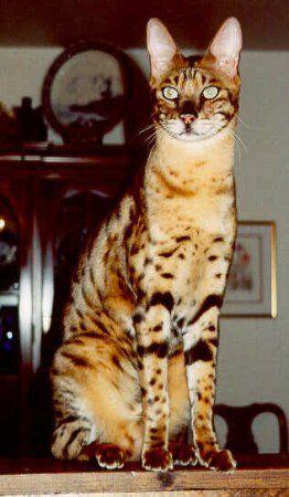 El savannah es una nueva raza de gato doméstico exótico. Tiene orejas grandes, piernas largas y sorprendentes marcas que pueden parecerse a los de un leopardo. La raza de Savannah fue desarrollada por el apareamiento ente gatos domésticos tabby y servales africanos. Un serval es un gato salvaje que vive en las sabanas. Este hábitat inspiró el nombre de la raza.