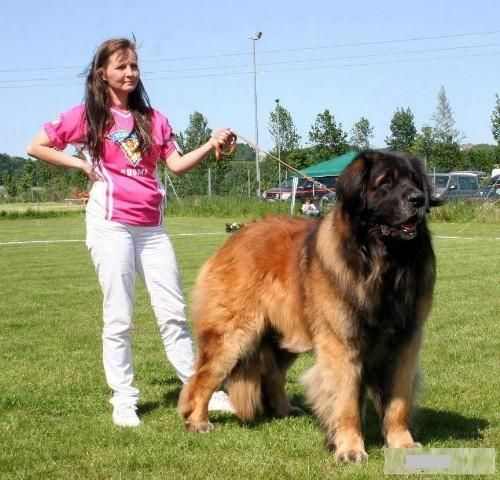 Leonberger, gentle giants