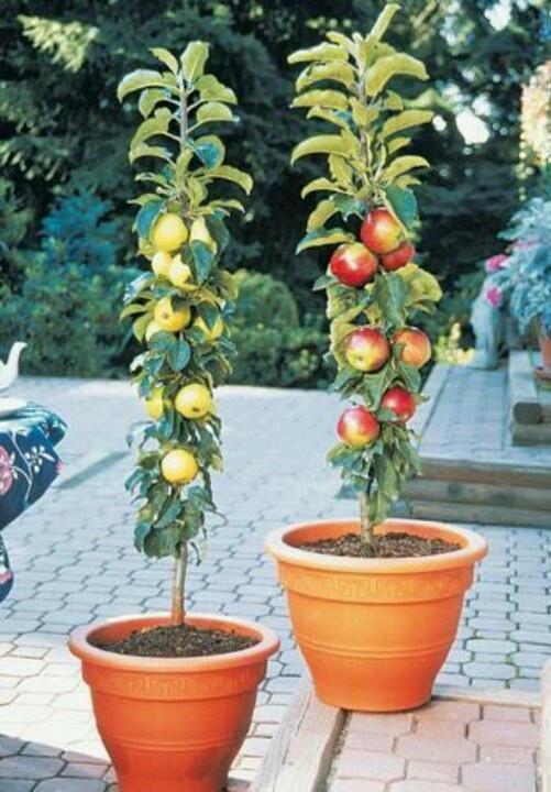 Column fruit trees