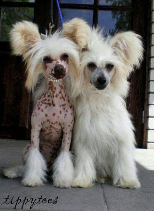 Chinese Crested two versions of the same breed