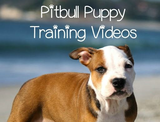I've been posting quite a few Pitbull puppy training tips articles, and today, I'd like to show you guys a collection of super informative, super cute Pitbull puppy training videos.They are as full ...