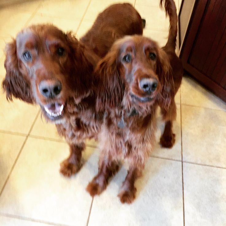 Pin by Kitty & Claire on Irish Setter puppies! Irish