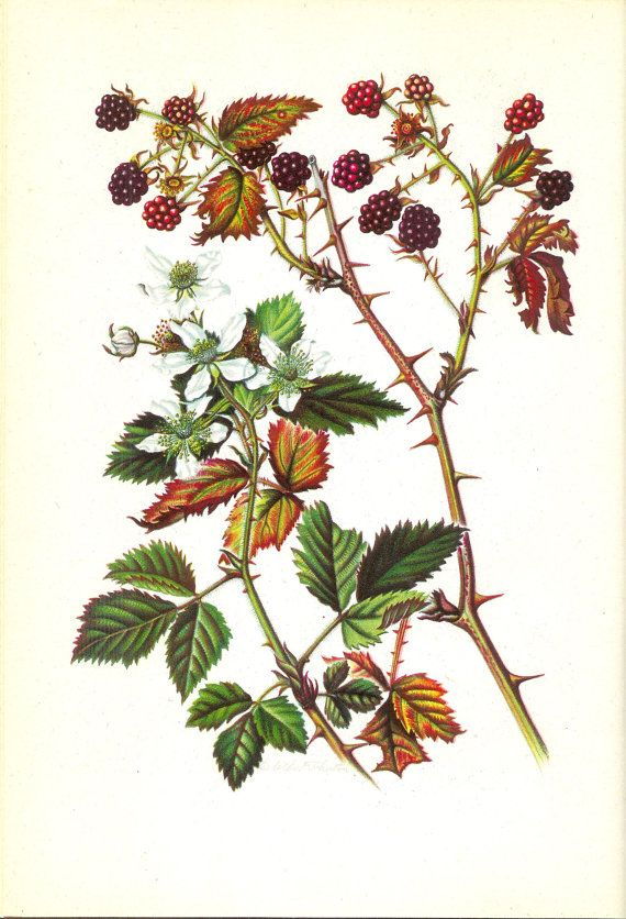 Wild Blackberry 1945 Era Botanical Print by ThePrintRescuer, $8.00 …