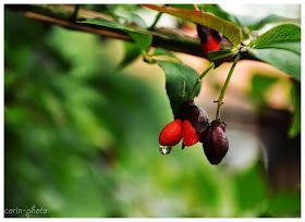 Corin: Kis kerti szépségek