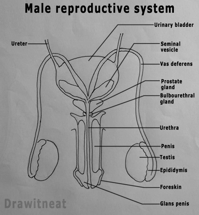 Anatomy of a male reproductive system