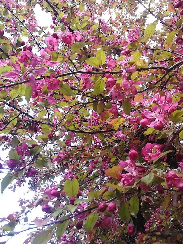 25 Best Ideas About Flowering Crabapple On Pinterest