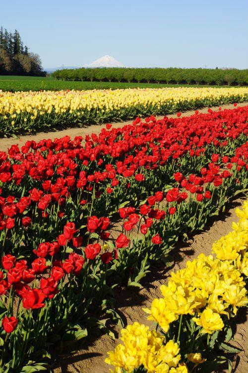 Festival de tulipanes ♥