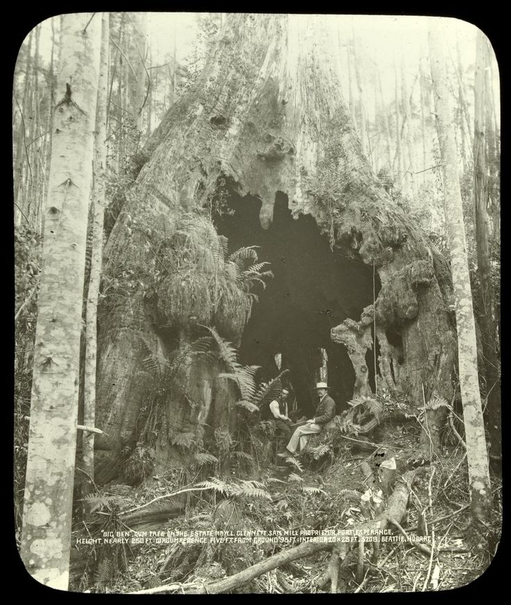 "John Watt Beattie, 1859 - 1930. Photographer. ""Gum Tree on the estate MR. W.L. Clennett Saw Mill Proprietor, Port Esperance"". www.trove.nla.gov.au"