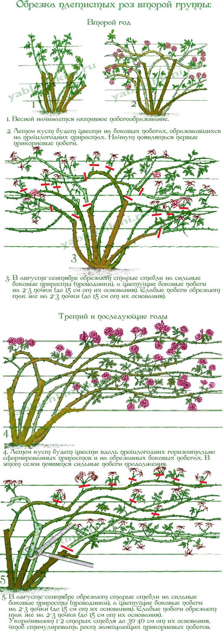обрезка-плетистых-роз-второй-группы