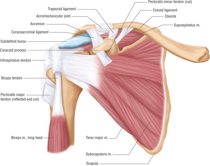 Basic Shoulder Anatomy Patients Crossing Oceans - Health, Medicine and Anatomy Reference Pictures
