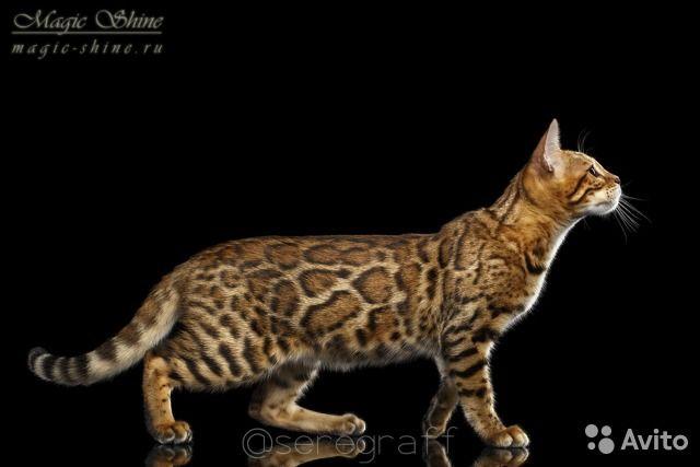 Эксклюзивные бенгальские котята — фотография №3