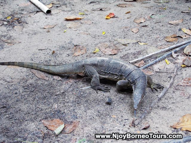 Large lizard at Sapi Island
