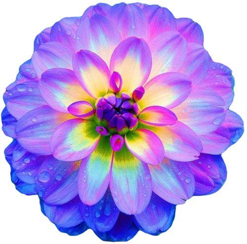 png transparent flower pattern dahlia blue purple
