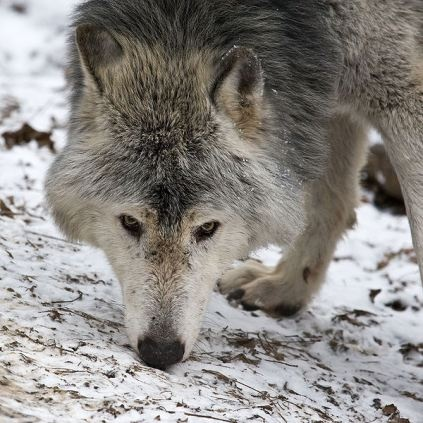 Howling for Justice, Blogging for the Gray Wolf, contacts page