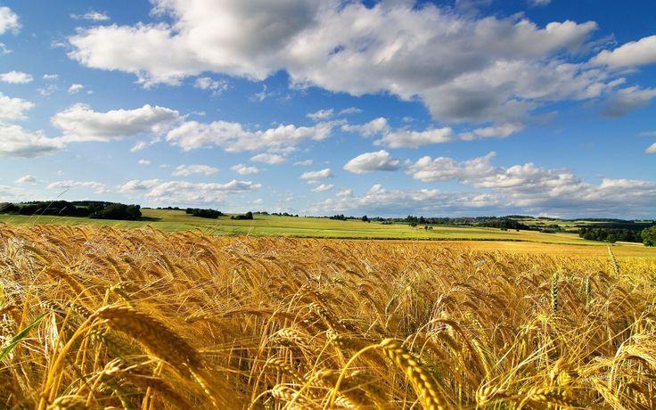 campi di grano - Bing Immagini