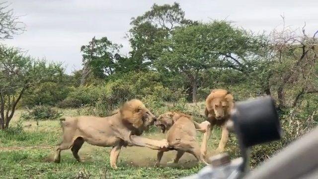 بدر سكارفيس On Instagram الملوك الجدد في مهمة اخضاع اللبوة لسيطرتهم Video By Psyeh Labrador Retriever Dogs Animals
