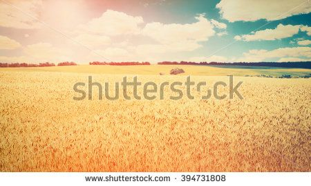 Wheat Field Stock Photos, Images, & Pictures   Shutterstock
