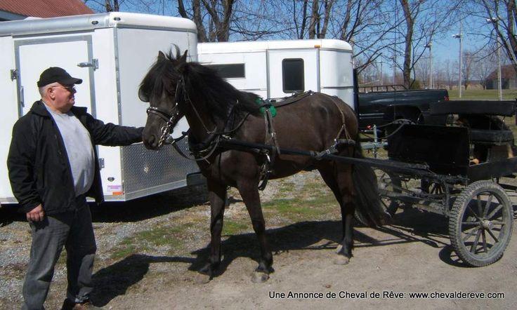 attelage chevaux | Cheval de Rêve - Annonces et Ventes: Belle pouliche dressée attelage ...