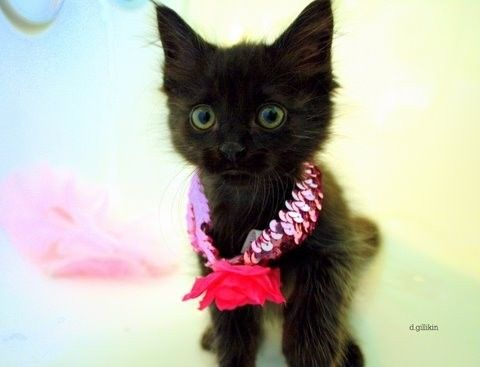 Cute Black Kitten with pink necklace