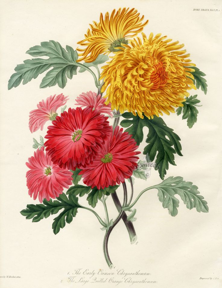 the early crimson chrysanthemum transactions of the horticultural society of london botanical prints 1812