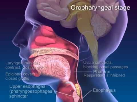 Swallowing video - an illustration good for patients. Disclaimer: there are actually four stages of swallowing but this video only acknowledges two (oral & pharyngeal)