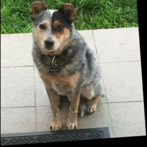 #LOST Blue Cattle #Dog – #Bondi #NSW 2026 https://shar.es/16d19I via @PetsAreFound please RT #LostDog #Missing #ACD #Heeler #Heelergram #ACDlovers #BlueHeeler #CattleDog Ran away from family members house on Roscoe Street Last seen on Blair Street in direction of Old South Head Road Microchipped with ID tags on collar (black) Recently adopted rescue dog Timi...