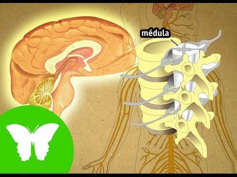 ▶ La Eduteca - El sistema nervioso - YouTube