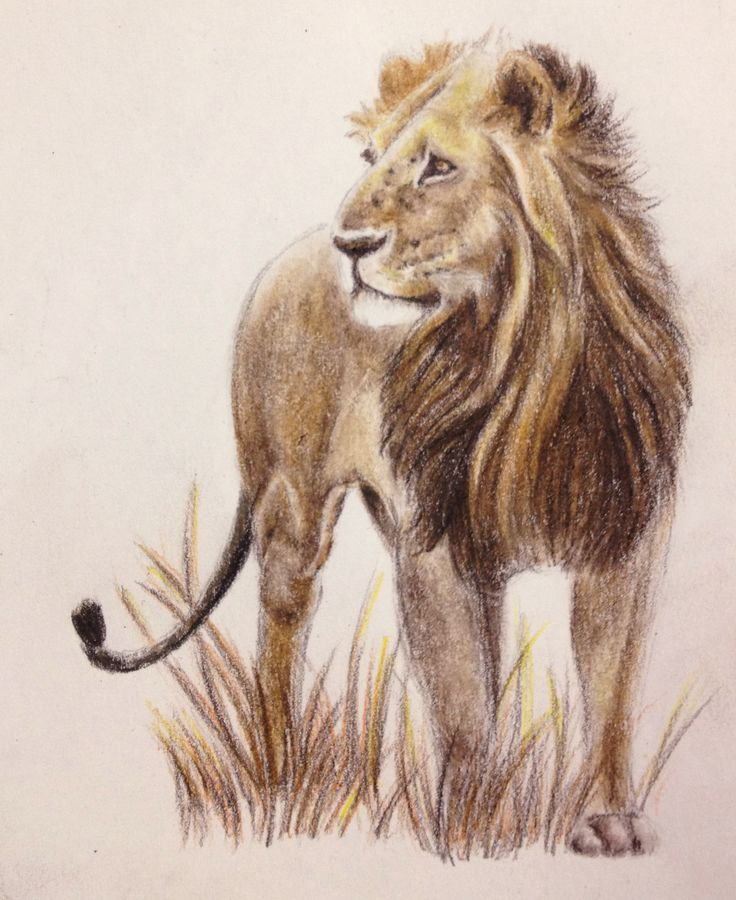 African lion in colored pencil.