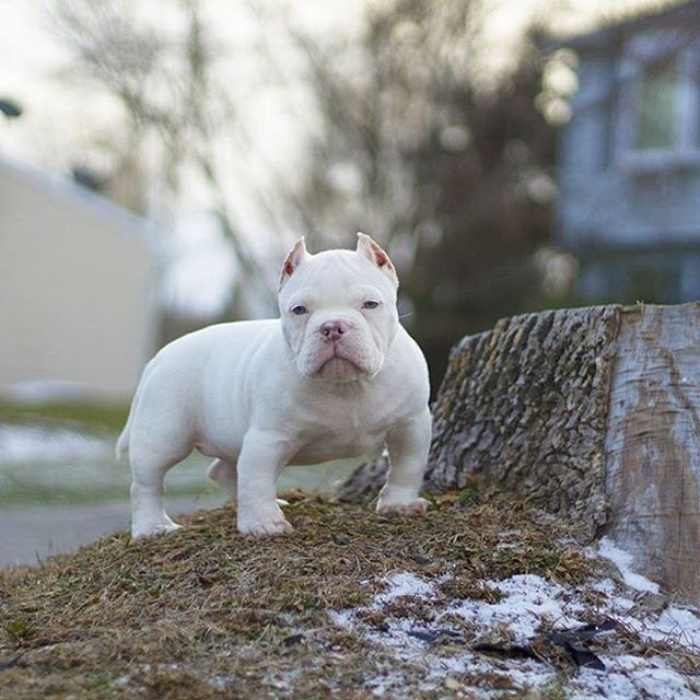 Sik Stance On This Pocket Bully Breeds Dogs Bully Dog Pitbull