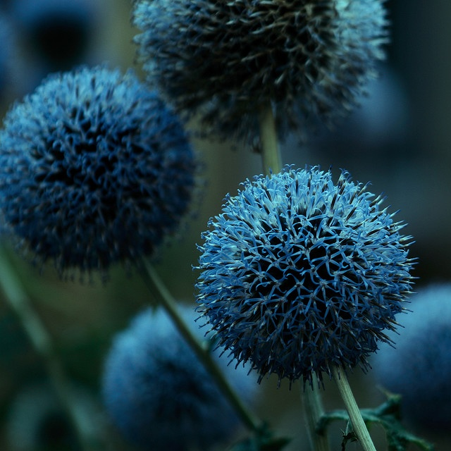 blue cool looking accent flower