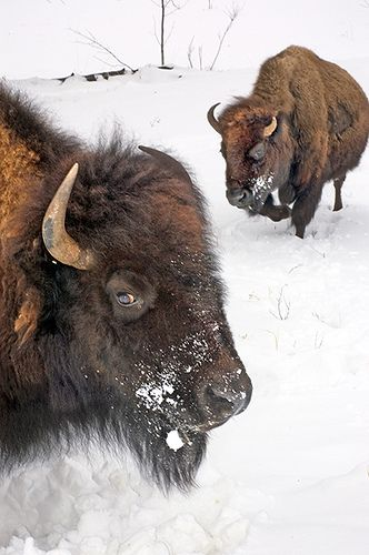 Buffalo, South Dakota, USA   | Flickr - Photo Sharing! I live these animals but I want to also hunt one using an indian guide. You need back up if u a near a heard and a no bs rifle. One shot one kill. Meat for a yr.