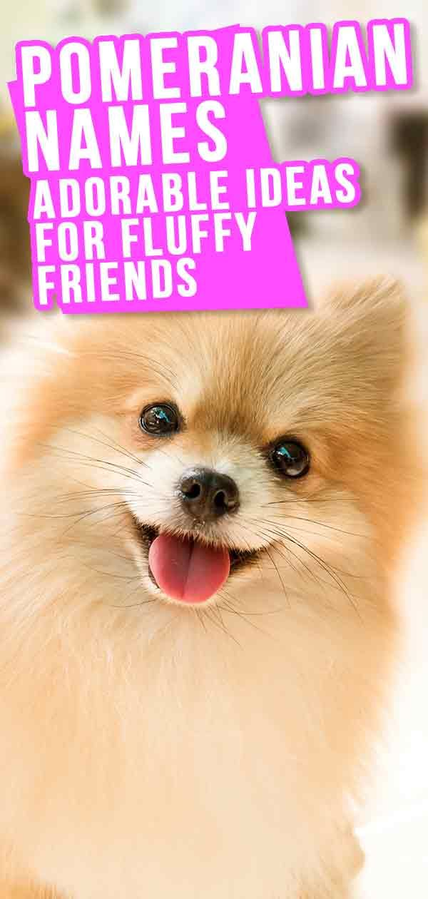 Pomeranian Names The Very Best Names For Your Beautiful Puppy In 2020 Cute Names For Dogs Pomeranian Puppies Names Female